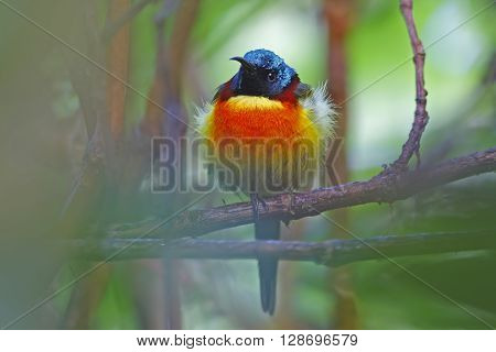 Green-tailed sunbird Aethopyga nipalensis Male Birds of Thailand