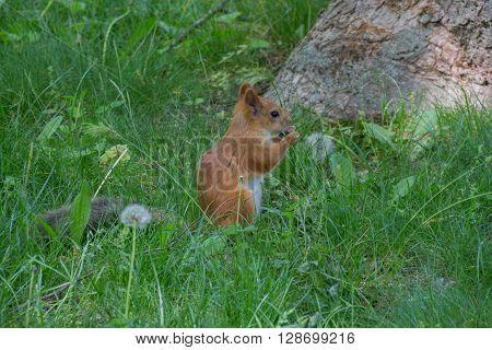Squirrel On The Dandelion Meadow