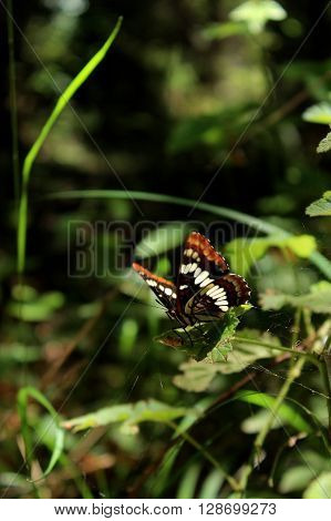 Lorquin's Admiral Butterfly sitting on green leaves.