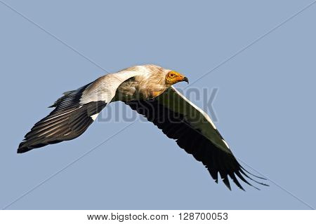 Egyptian vulture (Neophron percnopterus) in flight with blue skies in the background
