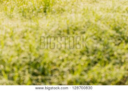 Blur of Fresh grass with dew drops and bokeh lights. Spring or summer background