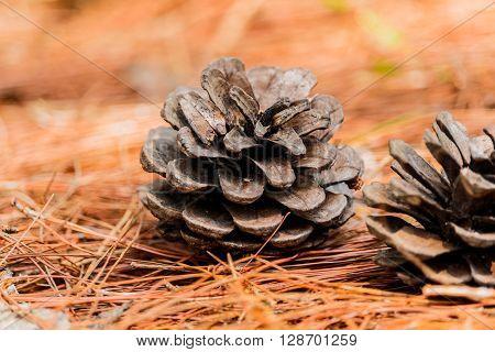 seeds of Khasiya Pine on forest moutaint