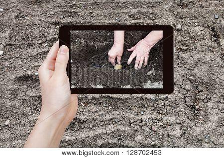 Farmer Photographs Planting Of Potatoes In Garden