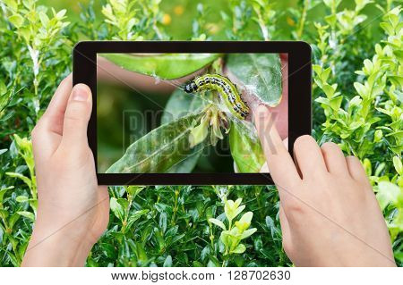 Farmer Photographs Larva Of Insect Pest On Boxwood