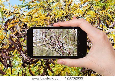 Tourist Photographs Spikes On Twigs Of Acacia Tree