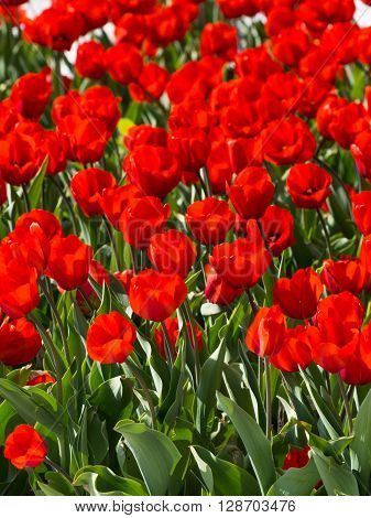 bright vibrant red tulips with green leaves in a beautiful garden in the spring