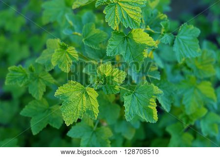 Young leaves of red currant illuminated by the setting sun