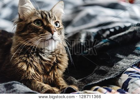 Beautiful Cute Cat Lying On Stylish Bed With Interesting Expressions On Background Of Room