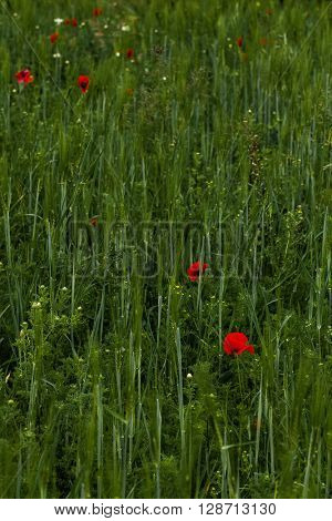intimate view of poppy red flowers amidst dense green