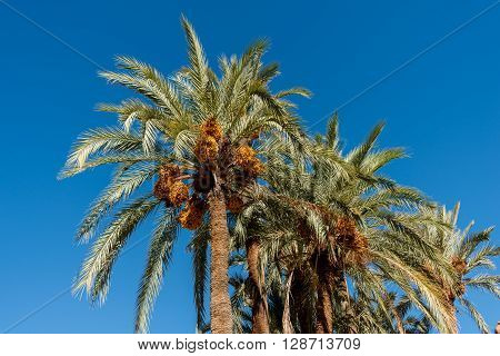 Date palms with lots of fruit in Morocco.