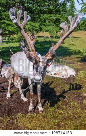 Tethered reindeer belonging to Mongolian nomads in Khovsgol National Park northern Mongolia