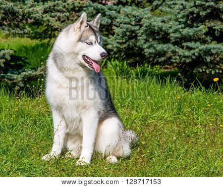 Husky looks aside. The husky is on the green grass.