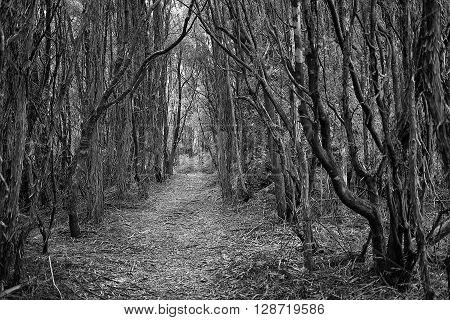 Dirt bushwalking track through native forest Tasmania