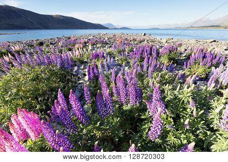 Beautiful lupines that grow around Lake Tekapo
