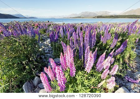 Preserving the nature for future generation. This is wild flowers captured around Lake Tekapo.