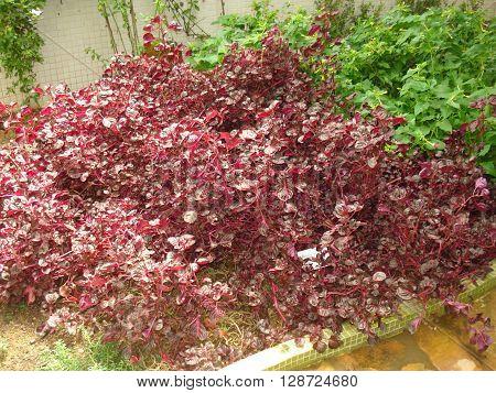 Iresine herbstii tropical plant heart hurt purple
