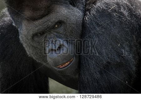 Close up portrait of a silver back gorilla showing face end expression