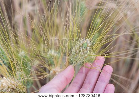 Green stink bug on barley ear in woman hand at sunset