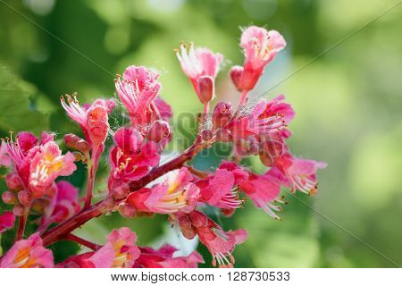 Aesculus X Carnea, Or Red Horse-chestnut Flower