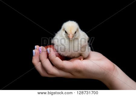Hand of a young teenager holding a yellow baby chicken and an easter red egg