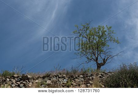 Lonely almond tree with blue cloudy e sky