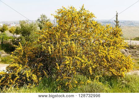 Bright flowering yellow mimosa tree on willage background