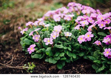 beautiful purple spring flowers in the ground.