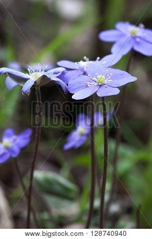 spring flower pechenocna noble - Hepatica Nobilis  closup