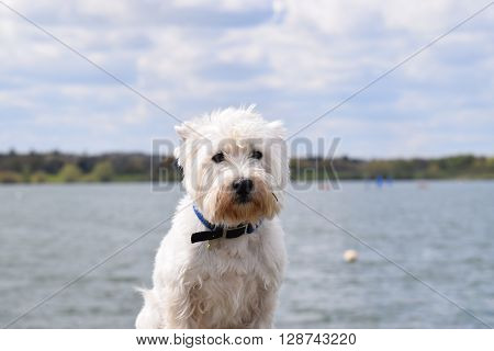 west highland terrier seating outside with a vast landscape coast view background