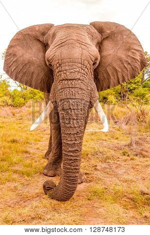 Close up of a Wild African Elephant