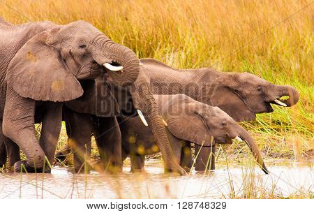 Herds of wild African elephants drinking water