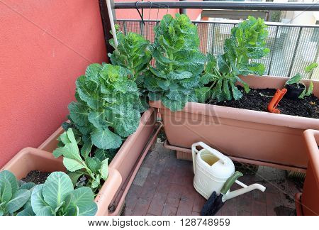 Plant Of Cabbage And Leaves In Vases Of An Urban Garden On The Terrace Of The Apartment