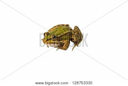 The single European green frog isolated on white background.