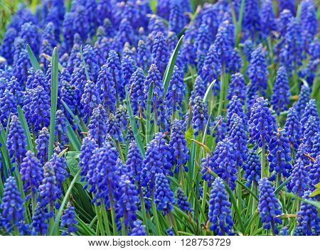 Lawn colors blue muscari in the spring garden (murine hyacinth).