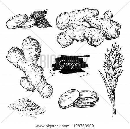 Vector hand drawn Ginger set. Root ginger pieces and flower. Engraved style illustration.