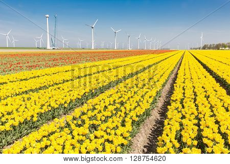 Dutch fields with beautiful yellow tulips and wind turbines