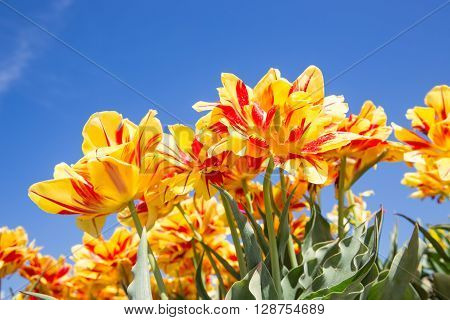 Blooming yellow and red tulips with a blue sky