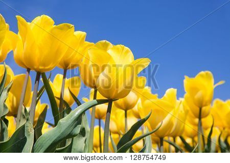 Dutch field with blooming yellow tulips and a blue sky