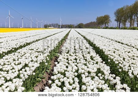 Dutch fields with beautiful white tulips and wind turbines