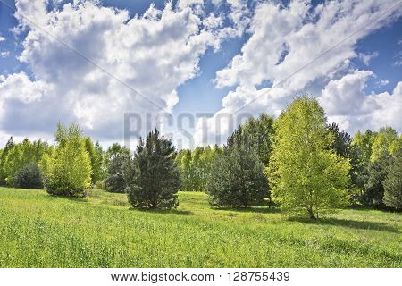 Beautiful landscape with birches and white clouds on blue sky.