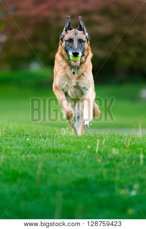Old purebred German Shepherd Dog outside in grass. Summertime.