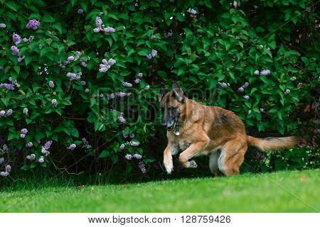 A purebred German Shepherd Dog outside in grass. Summertime.