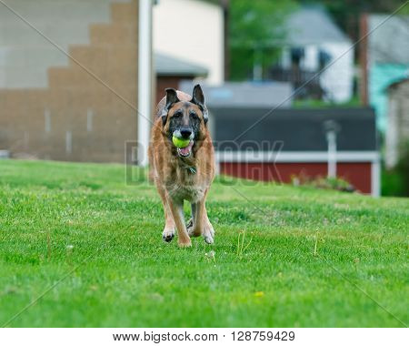 Old purebred German Shepherd Dog outside in grass. Summertime.** Note: Visible grain at 100%, best at smaller sizes