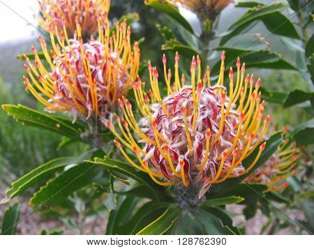 Proteas Kirstenbosch Botanical Gardens Cape Town South Africa ** Note: Visible grain at 100%, best at smaller sizes