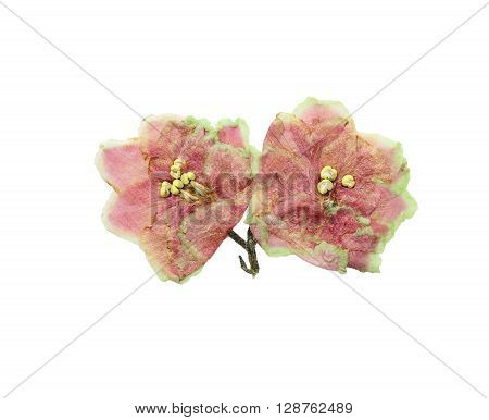 Pressed and dried pink flowers saintpaulia. Isolated on white background