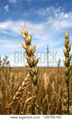 Close-up of ears of  wheat spelt on blue cloudy sky background