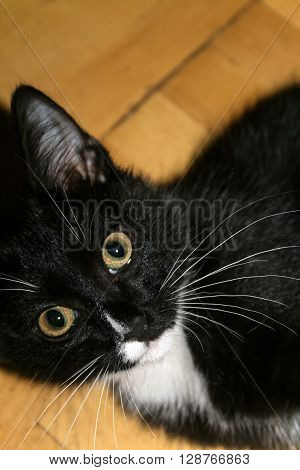 Small black and white kitten lying on the parquet floor and chewing a sprig of dill
