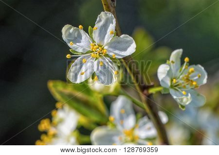 Flowers of the tree branch plum blossoms with blue background
