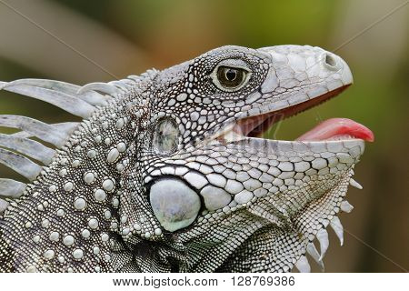 Green Iguana With Its Mouth Open