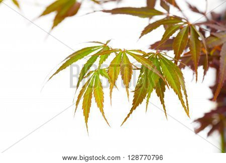 Autumn foliage Japanese Red maple tree leaves (Acer palmatum) Isolated on white background